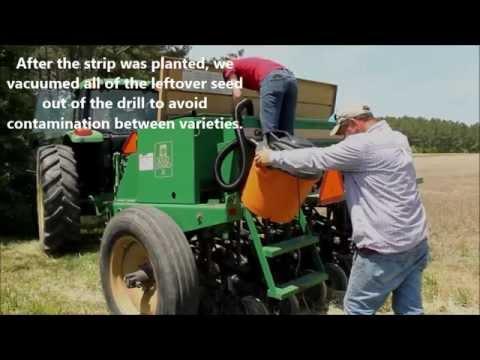 Meet a Virginia Cooperative Extension Soybean Test Plot