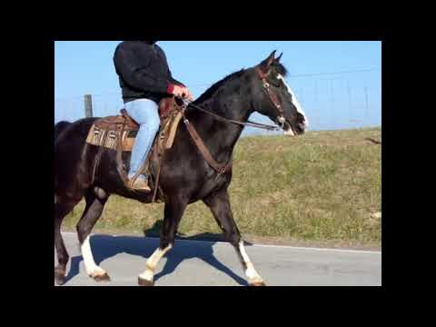 BEGINNER FRIENDLY FLASHY BLACK KENTUCKY MOUNTAIN GELDING