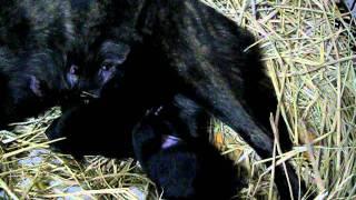 甲斐犬の、子犬です。 親の犬の名前は、希久(きく)です。 生後4日です。