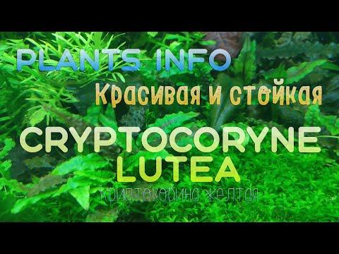 Plants Info   КРАСИВАЯ И СТОЙКАЯ   Криптокорина Лютея (Cryptocoryne lutea )