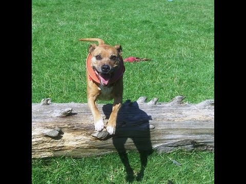 Staffordshire Bull oldie Rocky.