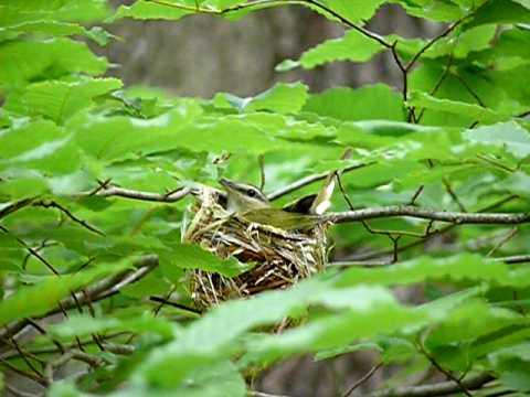Red eyed vireo nest - photo#27