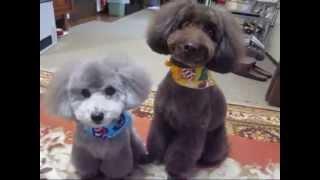 シルバー&アンバーのトリミング Toy Poodle Grooming