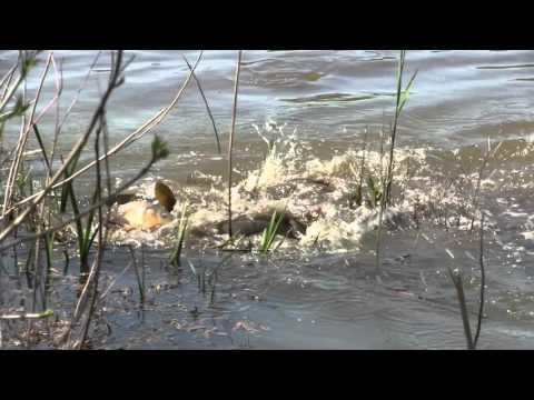 Fish Battle John Heinz Refuge