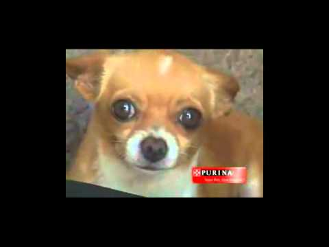 Perros Chihuahua Pequeños De Bolsillo Videos De Chihuahua Razas De