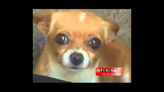 Perros Chihuahua Pequeños de Bolsillo Videos De Chihuahua Razas de Perros Pequeños Chiguagua
