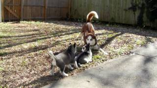 Husky Mom Teaches Pups How To Play Outside.