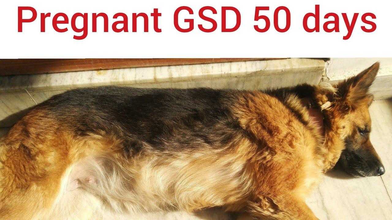 50 Days Pregnant Dog German Shepherd Double Coat Youtube