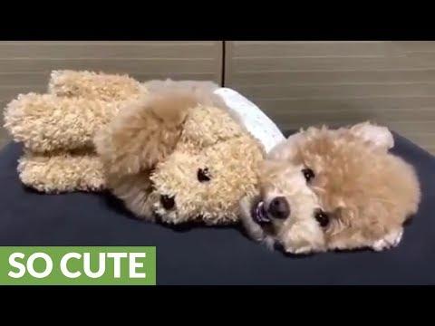 Poodle lovingly cuddles favorite stuffed animal