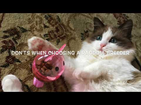 Choosing A Ragdoll Kitten Breeder
