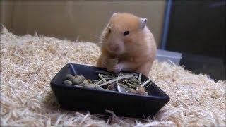 ハムスター飼育に必要なエサの紹介と説明の動画です。これからハムスタ...