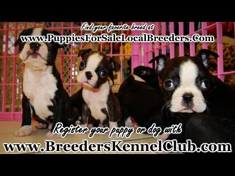 BOSTON TERRIER PUPPIES FOR SALE IN GEORGIA | LOCAL BREEDERS NEAR ATLANTA, GA