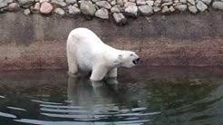 Ranuan jääkarhu