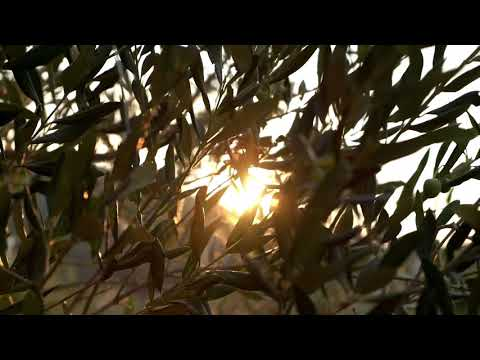 Adopt an Olive Tree: Get Antioxidant-Packed Olive Oil