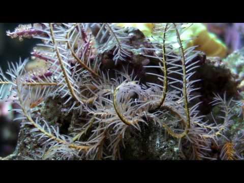 an introduction to the life of a brittle starfish Brittle stars are echinoderms - so, they are related to sea stars (commonly called starfish) brittle star locomotion brittle stars don't move using tube feet like sea stars and urchins.