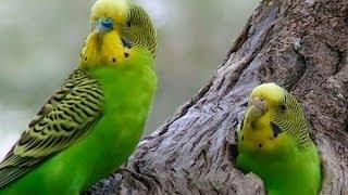 Periquito Australiano Cría y Reproducción