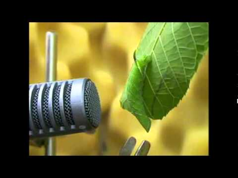 The Whistling Caterpillar LiveScience - YouTube - photo#5