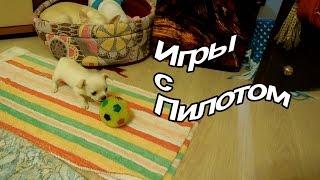 VLOG: У щенка чихуахуа запоры / Играем с Пилотом / Покупки для ремонта