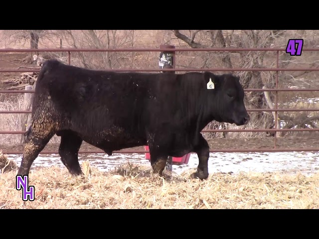 New Haven Angus Lot 47