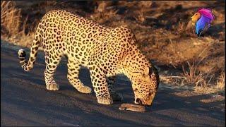 Leopard Eats Deadly Puff-adder Snake Alive!   Wildlife in Africa.