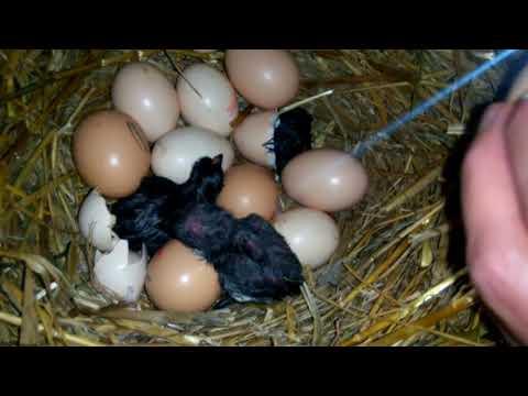 Как вылупляется цыпленок из яйца видео