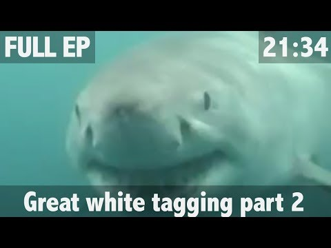 THE SEARCH FOR THE GREAT WHITE SHARK PART 2