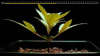 2nd part  Germination of marijuana seed in carbonated mineral water. TIME LAPSE