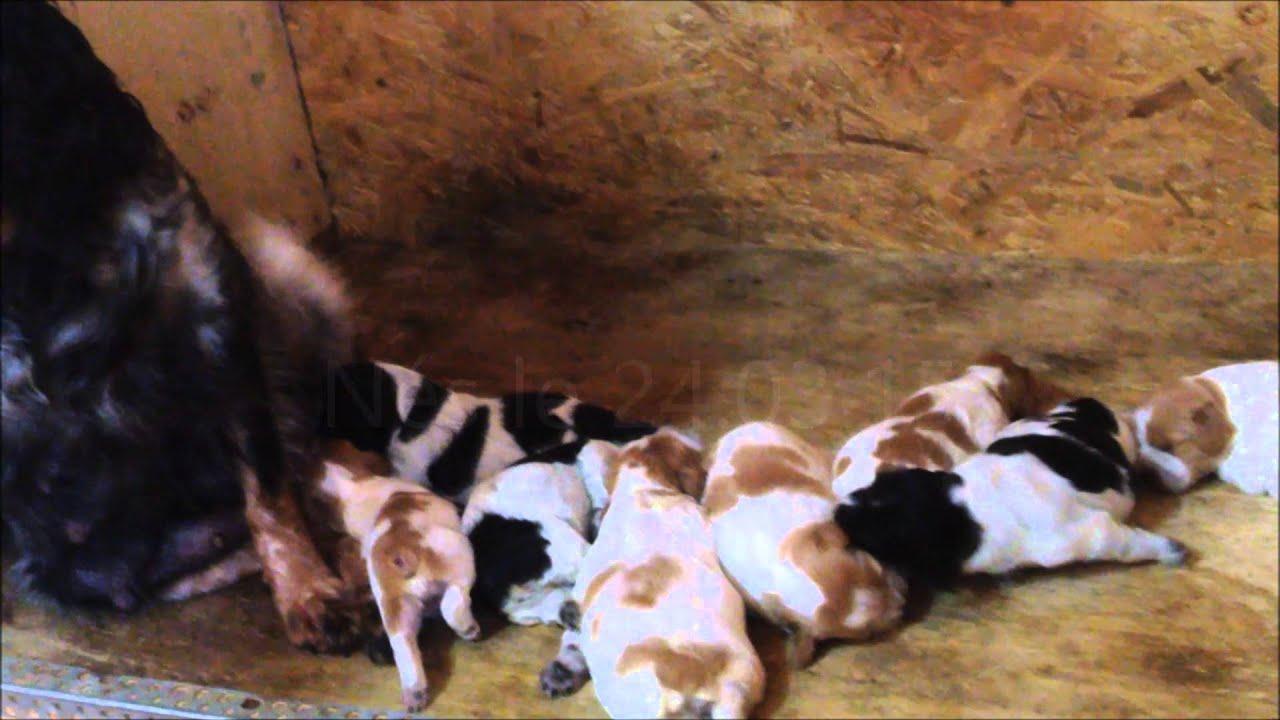 Vente chiens de chasse Epagneuls Bretons en Gironde - YouTube