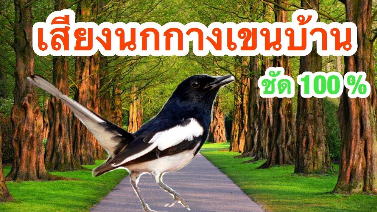 นกกางเขนบ้าน นกบินหลา | เสียงนกกางเขนบ้าน | เสียงชัด 100% (เสียงต่อนก) Ep.3
