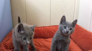 Русские голубые котята! Котята для вас! Русская голубая кошка