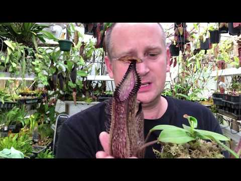 NEPENTHES CARE: HOW TO GROW NEPENTHES HAMATA / CARNIVOROUS PITCHER PLANT CARE TIPS