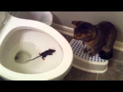 Кошка ловит мышь   в унитазе!!!