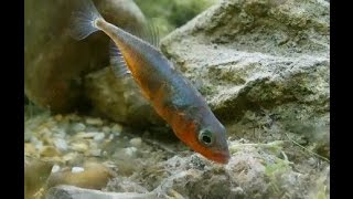 Sticklebacks Breeding