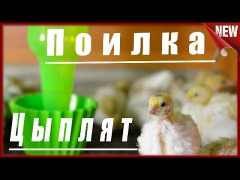 Поилка для суточных цыплят своими руками