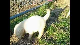 Golden Retriever X Labrador Pups Ready Now