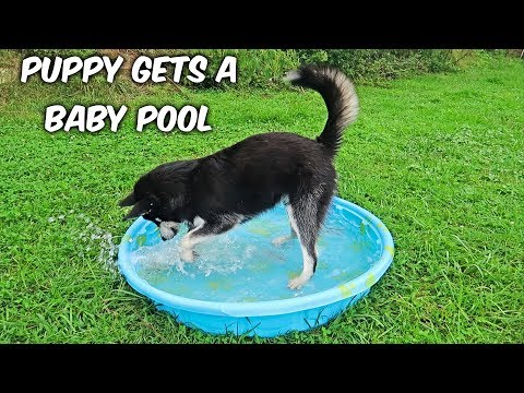 Alaskan Malamute Puppy Gets a Baby Pool