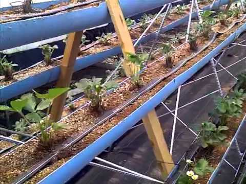 plantar fresas en invernadero