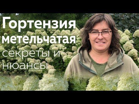 Гортензия метельчатая: секреты и нюансы /Наталья Самойленко/