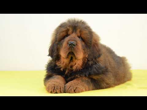 Tibetan Mastiff Puppies Effi Asantiko