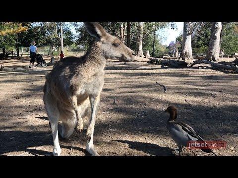 60 Seconds at Brisbane's Lone Pine Koala Sanctuary