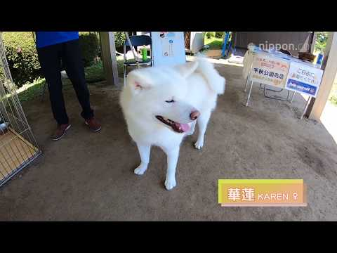 Akita Dog Karen Makes a Heart Mark for Visitors to Senshū Park in Akita City | Nippon.com