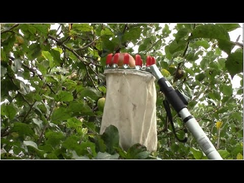 How To Pick Fruit High Up On Trees Youtube