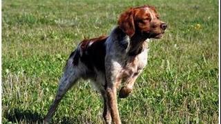Охотничьи собаки. Бретонский эпаньол.