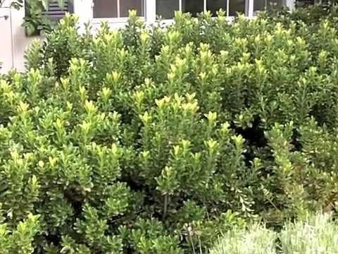 Rhaphiolepis Umbellata Minor Minor Yedda Hawthorn