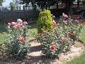 watch he video of Beautiful Multicolor Rose Garden in Kashmir