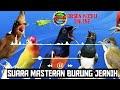 Suara Burung Cililin Jernih Masteran Burung Cililin  Mp3 - Mp4 Download