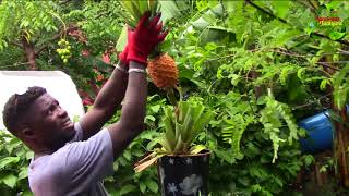 🍍Harvesting Homegrown Container  Pineapple || Agrosuede ✔