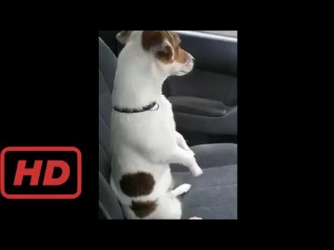 Pet's World |  One of The Most Energetic Dog Breed - Jack Russell Terrier [ofcourse this still Funn