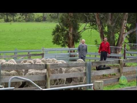 HRH Prince of Wales visits Tasmanian Merino sheep stud