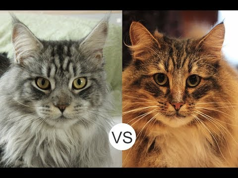 Norwegian Forest Cat-The Facts Every Owner Of This Cat Breed Should Know | Norwegian Forest Cat